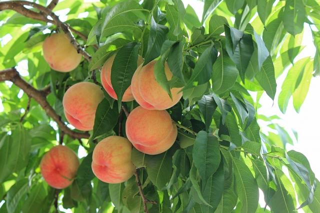桃の消費期限