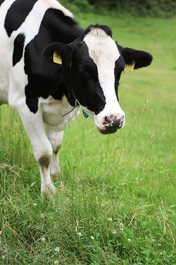 パスチャライズ製法は牛乳本来の味
