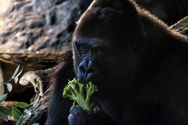 ゴリラもブロッコリーを食べる