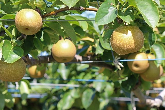 梨の保存方法