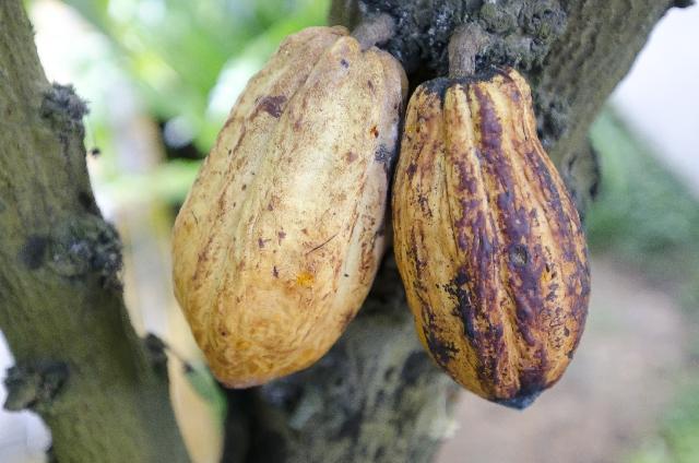 チョコレートの原料カカオ