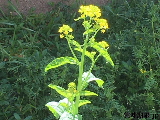 菜の花の冷蔵保存